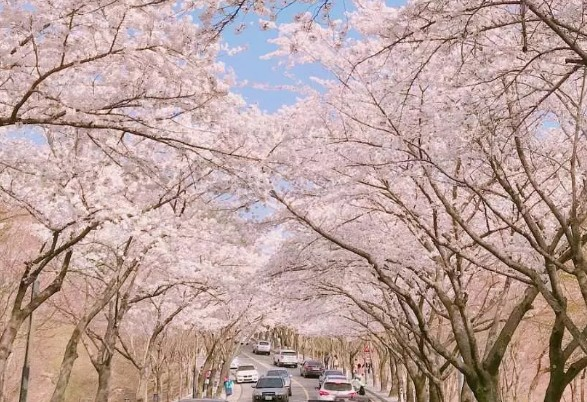 【春季早期割引】釜山エリア桜鑑賞ツアー