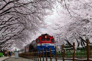 鎮海(チネ)軍港桜祭り